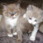 Two Ragdoll Kittens Stand Side-by-Side.