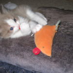 Seal Point Bi-Color Male Ragdoll Kitten Plays with Toy!