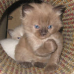 Four Week Old Colorpoint Ragdoll Kitten