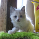 Blue Point Bi-Color Female Ragdoll Kitten