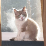 Seal Point Mink Bi-Color Ragdoll Kitten Sits in Window