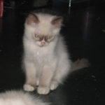 Seal Point Mitted Ragdoll Kitten with Full Blaze