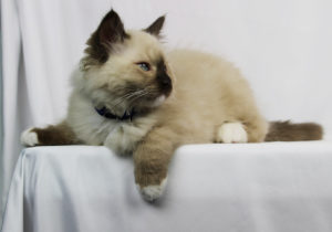 Portrait of Seal Point Mitted Ragdoll Kitten 3 Months Old