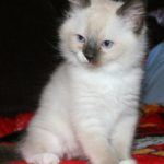 The most gorgeous seal point ragdoll kitten you've ever seen! Mitted with partial blaze.