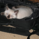 Seal Point Ragdoll Kitten Sits in Laptop Case. She has a Marilyn Monroe type Beauty Mark on her cheek.