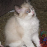 Mink Bi-color Ragdoll young Boy
