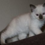 Seal Point Ragdoll Kitten