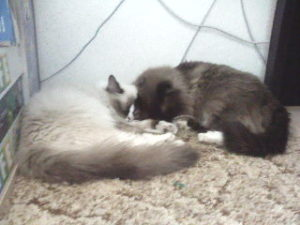 Ragdoll Cat Breeder Pair Laying Together