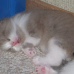 Seal Point Bi-Color Ragdoll Kitten Sleeping