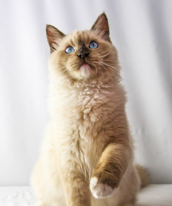 Portrait of male seal point mitted Ragdoll