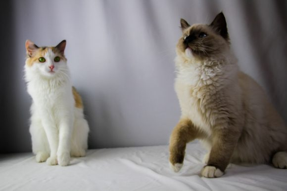 Breeder Ragdoll Pair Sitting Together