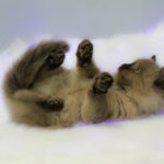 photography ragdoll kitten